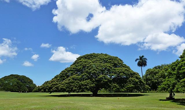 樹齢130年のモンキーポッド、モアナルア・ガーデンズパークのアイキャッチ画像
