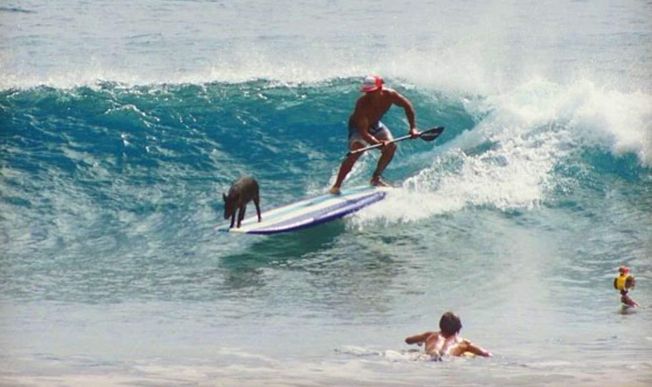 幸せになれる黒い子ブタ!ハワイの海でサーフィンをする子ブタが大人気のアイキャッチ画像